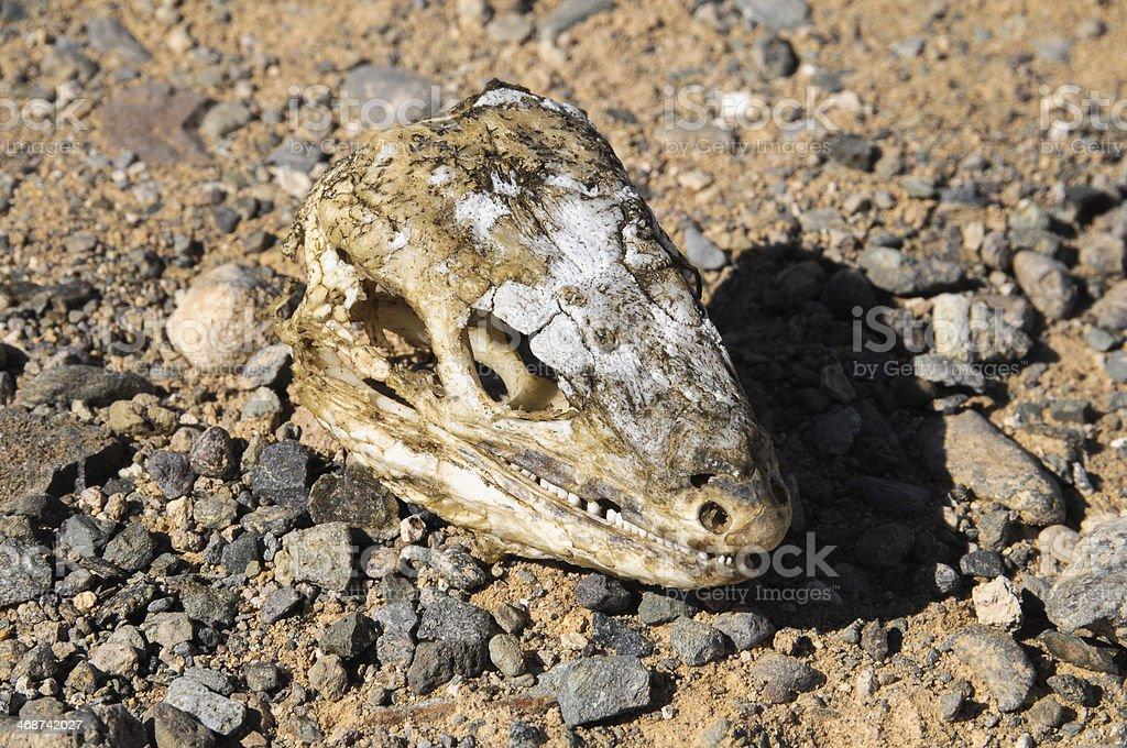 Canarian Dry Lizard Skull stock photo