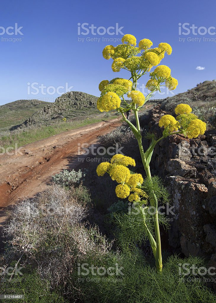 Canarian giant fennel - ferula lancerottensis royalty-free stock photo