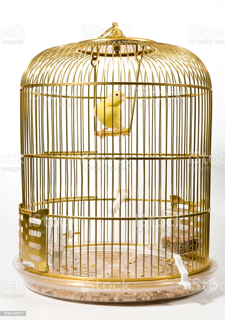 Canary bird in cage stock photo