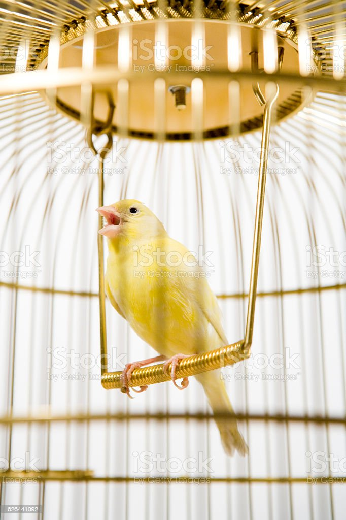 Canary bird inside cage stock photo