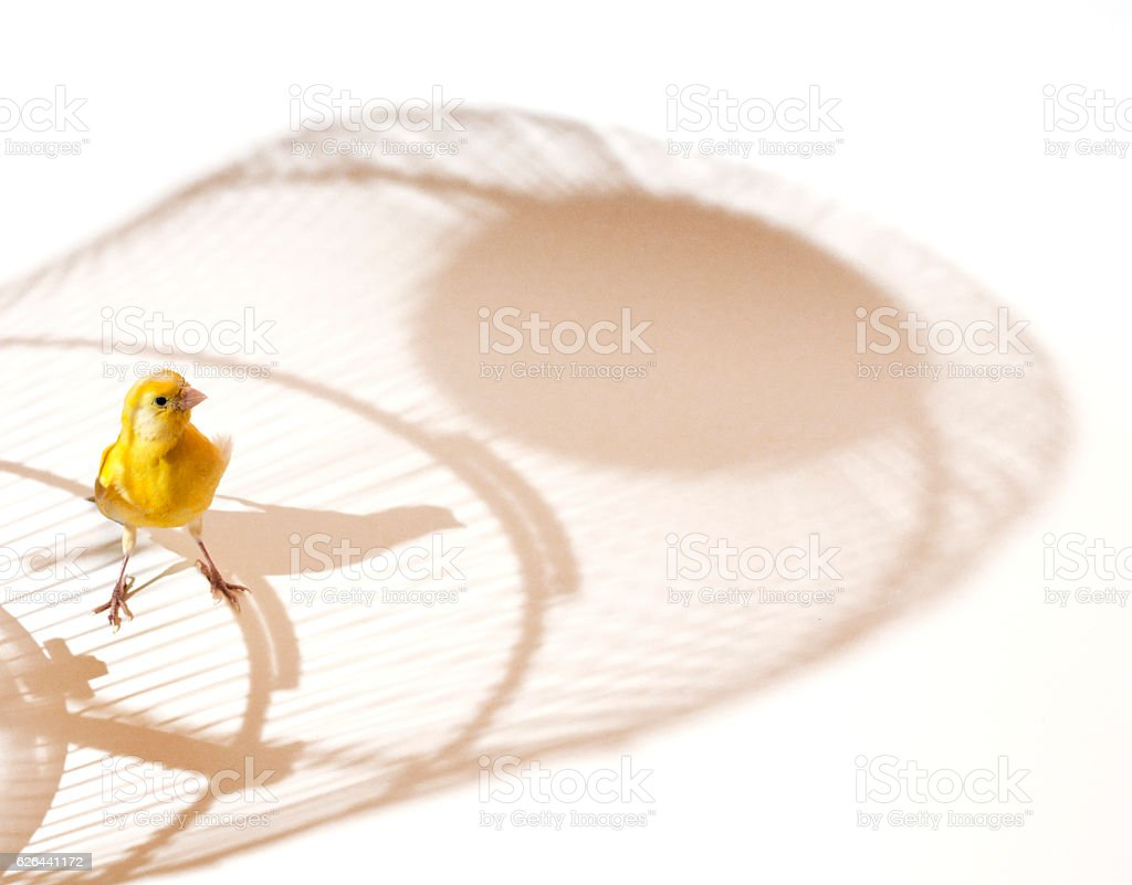 Canary bird outside cage stock photo
