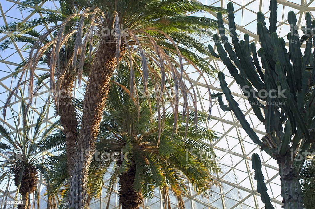 Canary Island Date Palm and Euphorbia Plant at Conservatory stock photo