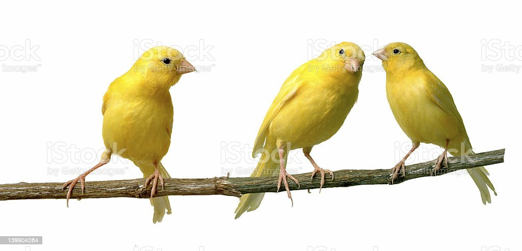 Canaries stock photo