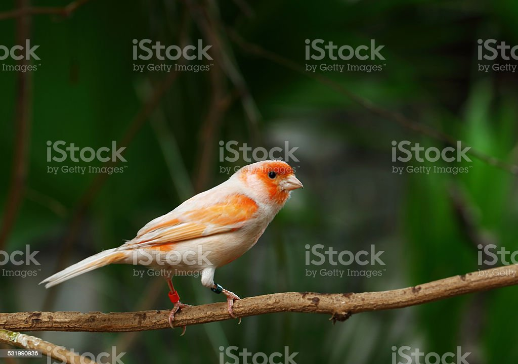 Canary on a branch stock photo