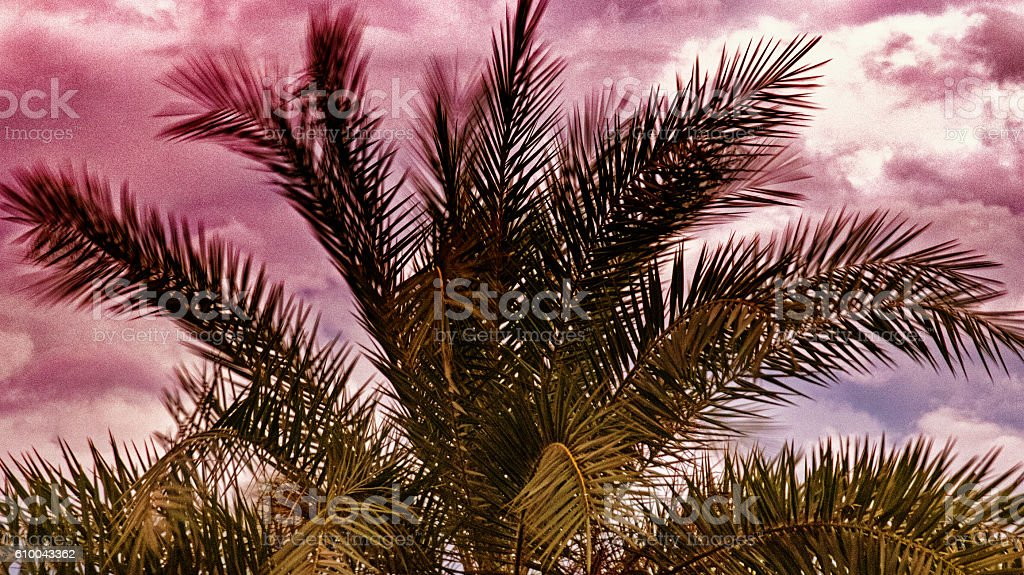 Canary Palm stock photo