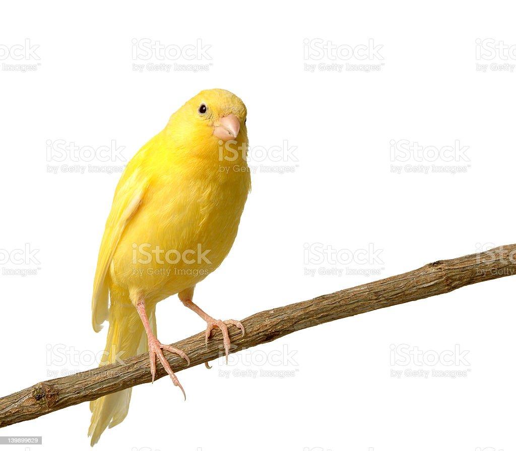 canary stock photo