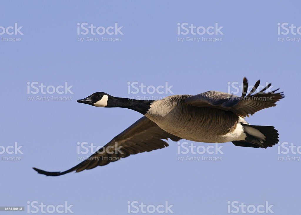 Candadian Goose (Branta canadensis) in Flight stock photo