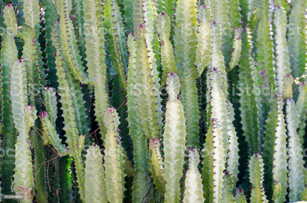candelabra plant, Euphorbia lactea, background stock photo