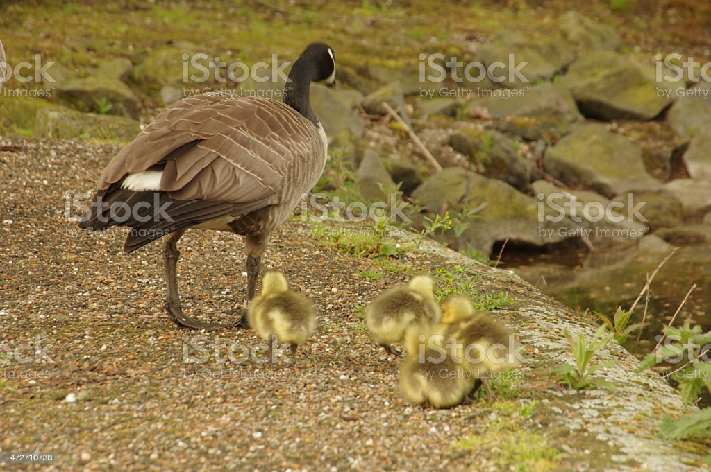 Candian gosse with chicks stock photo