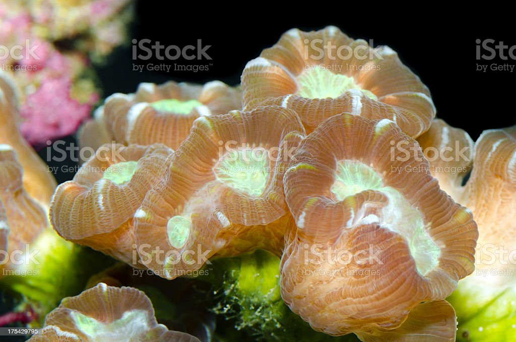 Candy Cane Coral - Caulastrea furcata stock photo