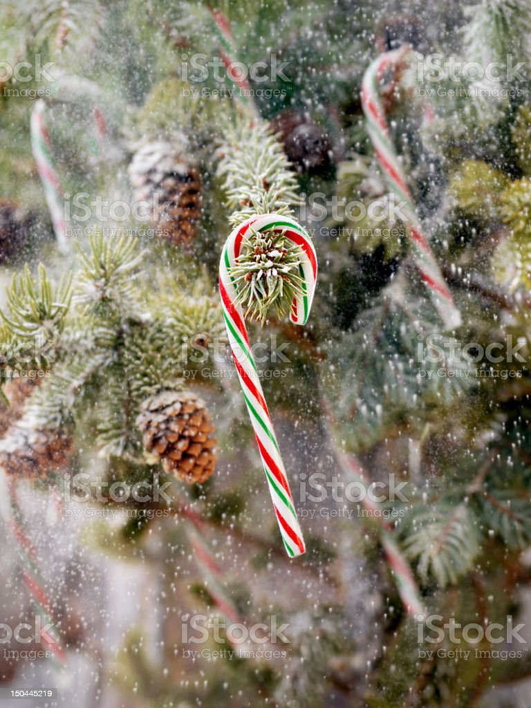 Candy Canes Hanging on a Christmas tree royalty-free stock photo