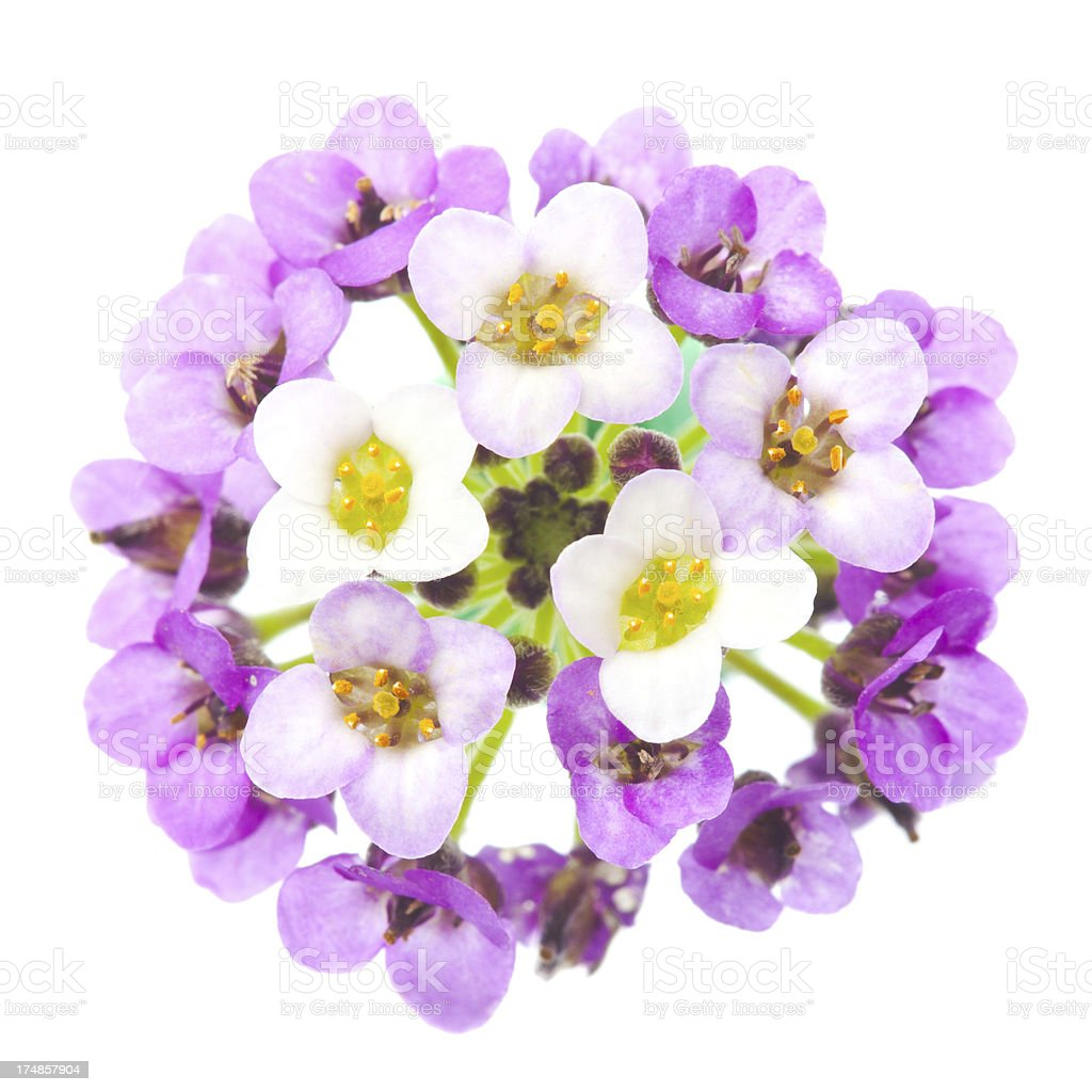 Candy tuft flower isolated on white royalty-free stock photo