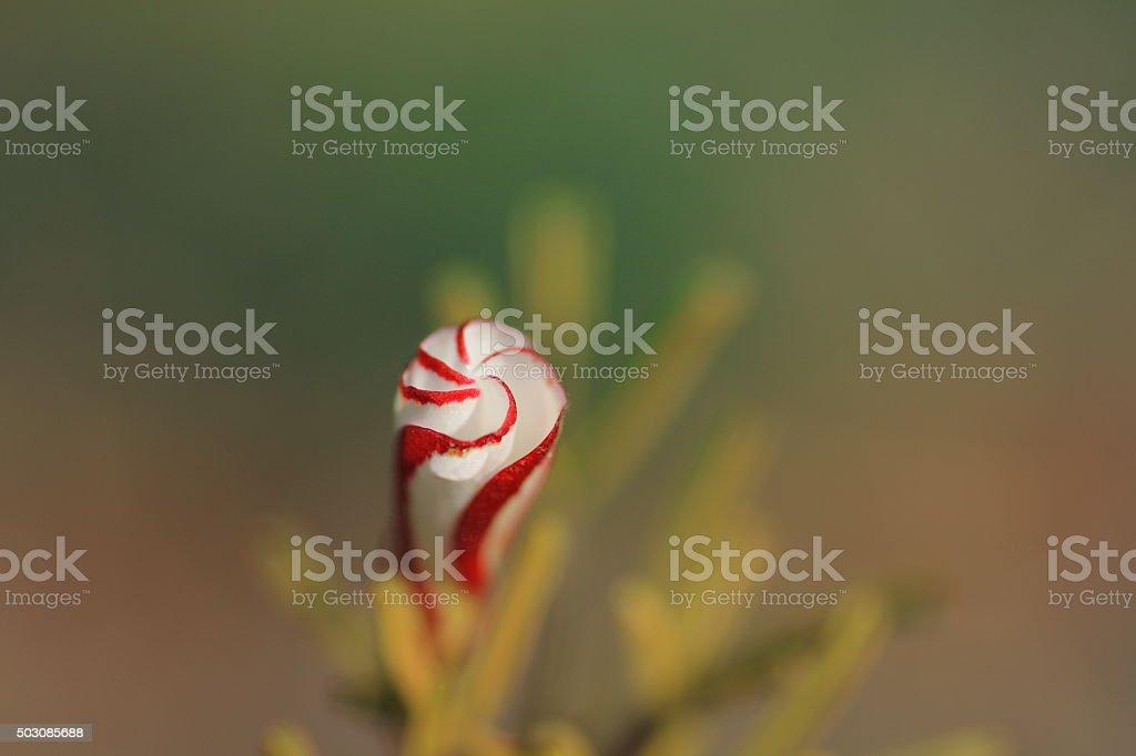 Candycane sorrel stock photo