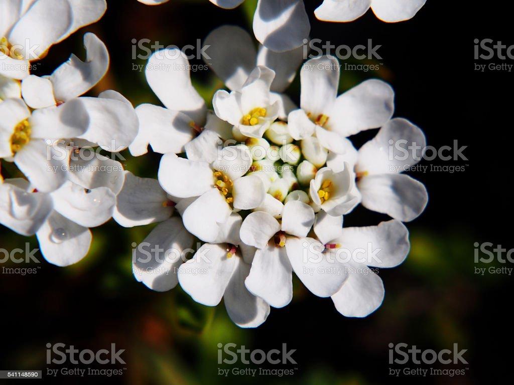 Candytuft - Iberis sempervirens 'Aurea' stock photo