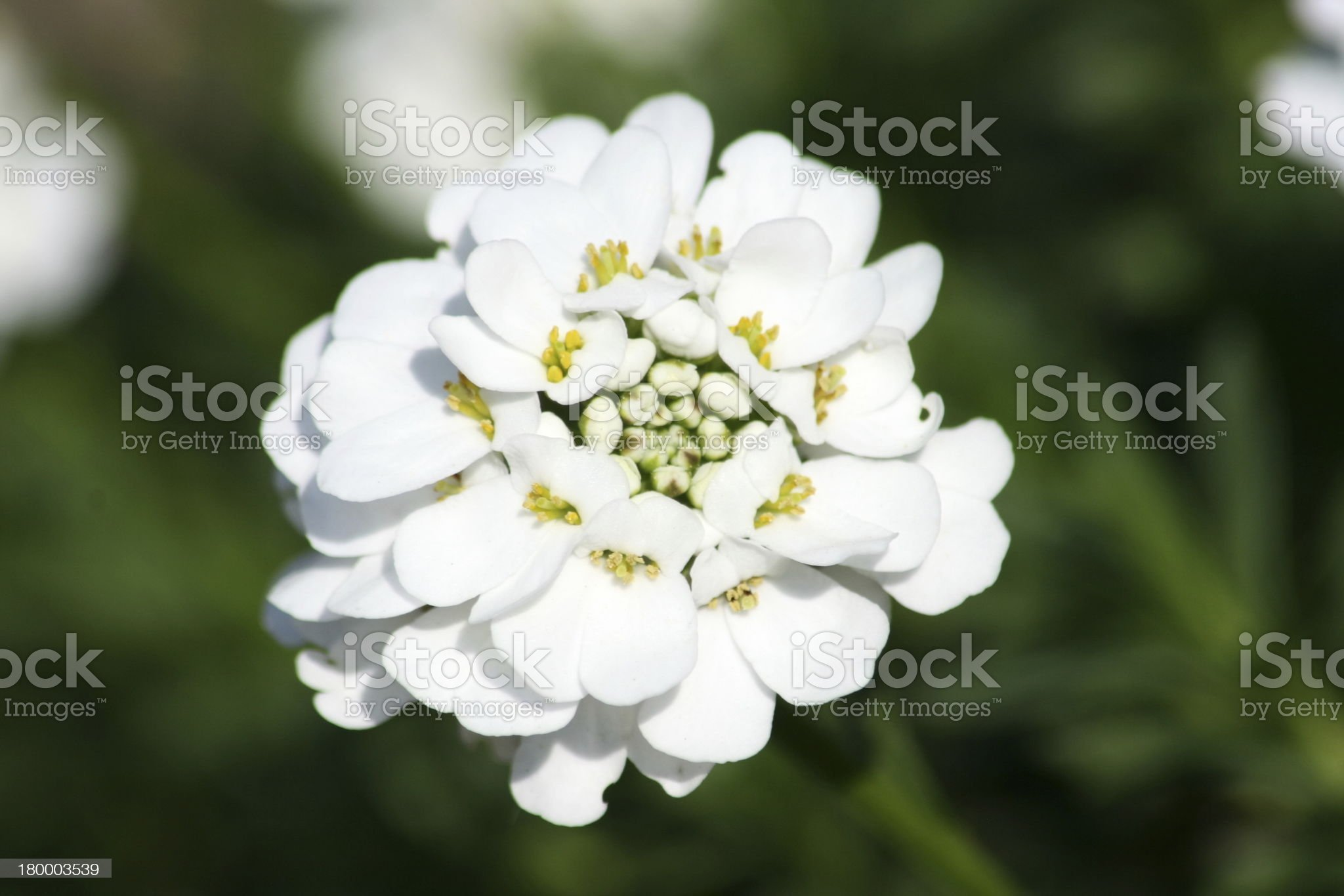 candytuft (Iberis sempervirens) royalty-free stock photo