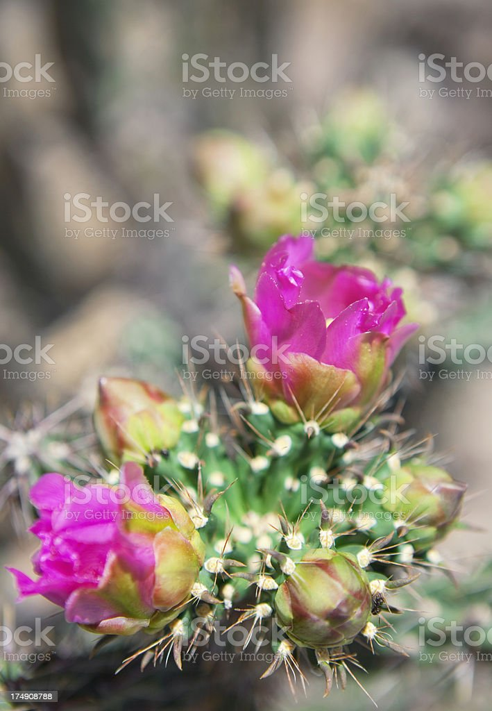 Cane Cholla Cactus Flower royalty-free stock photo