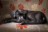 Cane Corso dark gray puppy