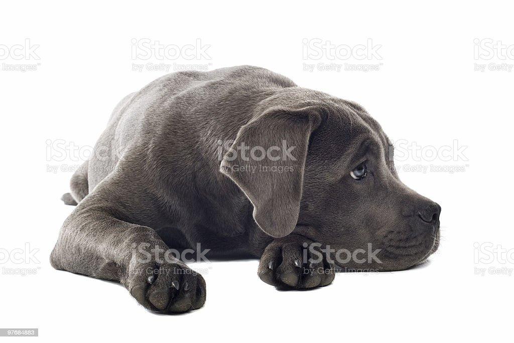 Cane Corso puppy royalty-free stock photo