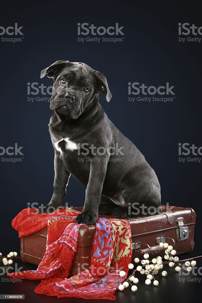 Cane corso puppy sitting on suitcase stock photo