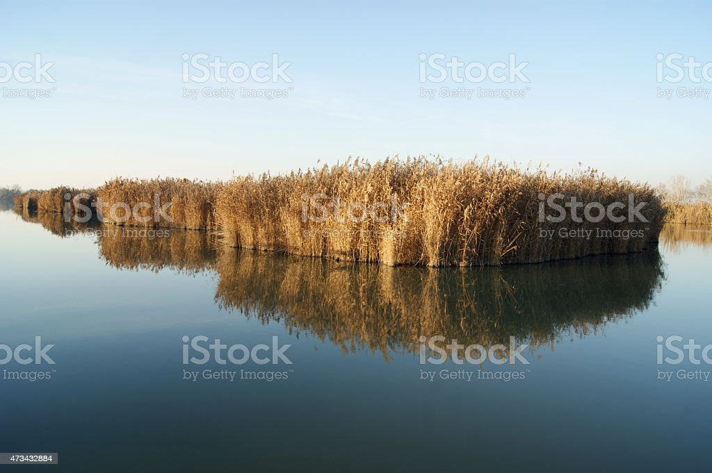 Cane field in a river stock photo