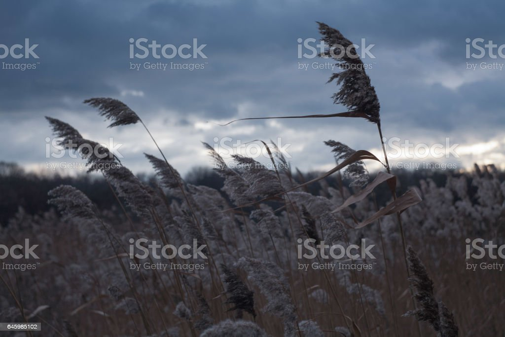 Cane in the wind stock photo