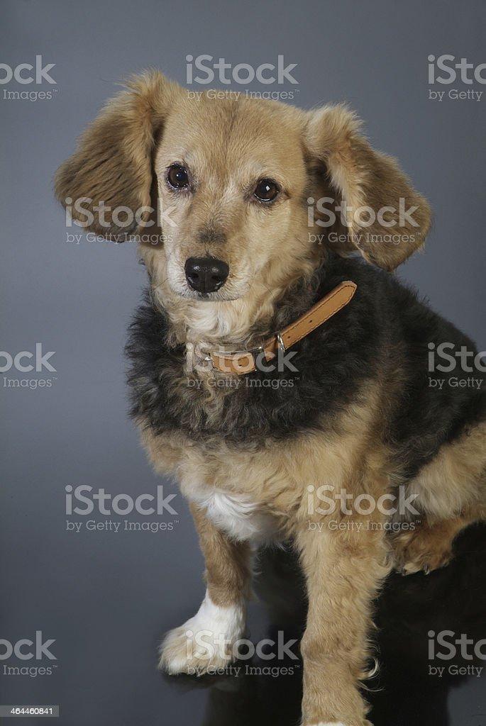 cane italiano 5983 royalty-free stock photo