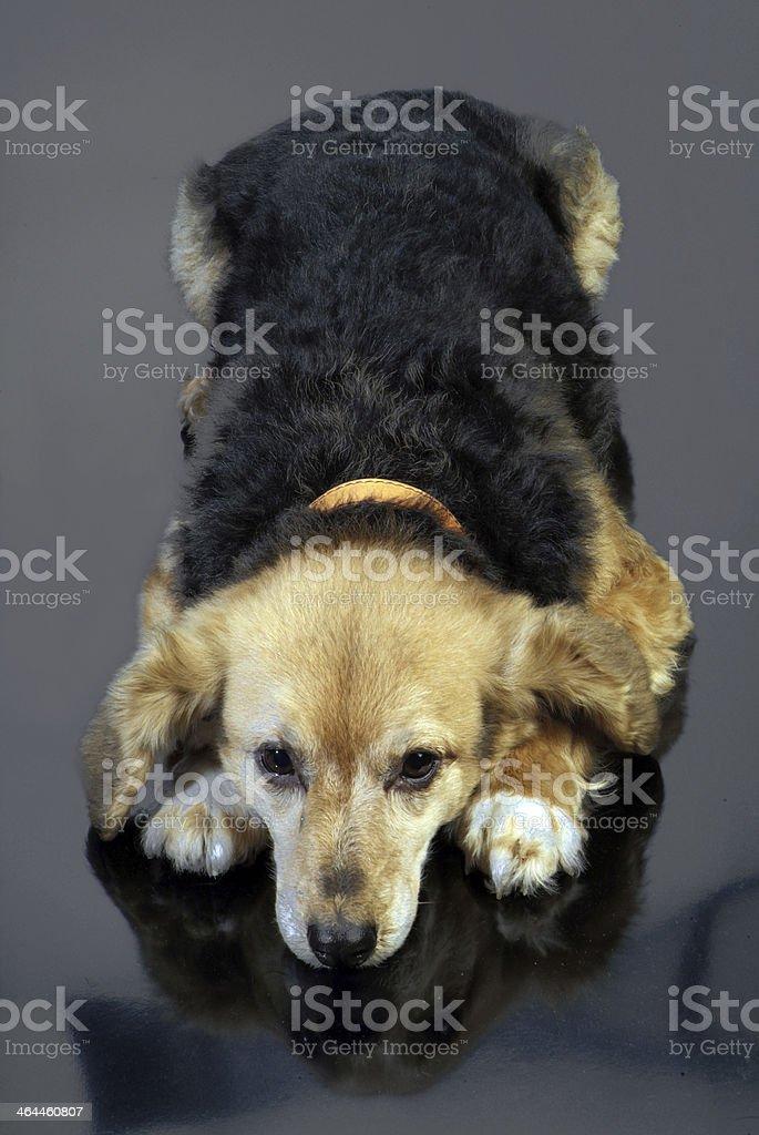 cane italiano 5986 royalty-free stock photo