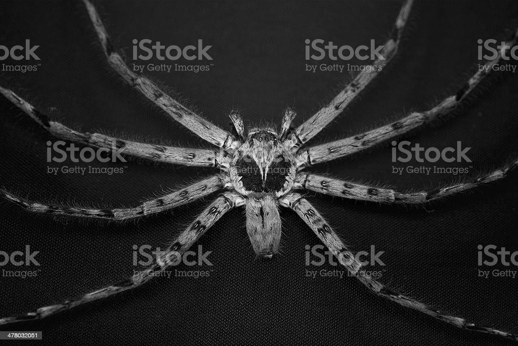 Cane Spider stock photo