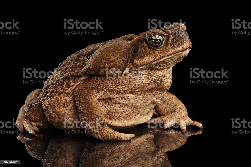 Cane Toad - Bufo marinus, giant neotropical, marine, Isolated Black stock photo