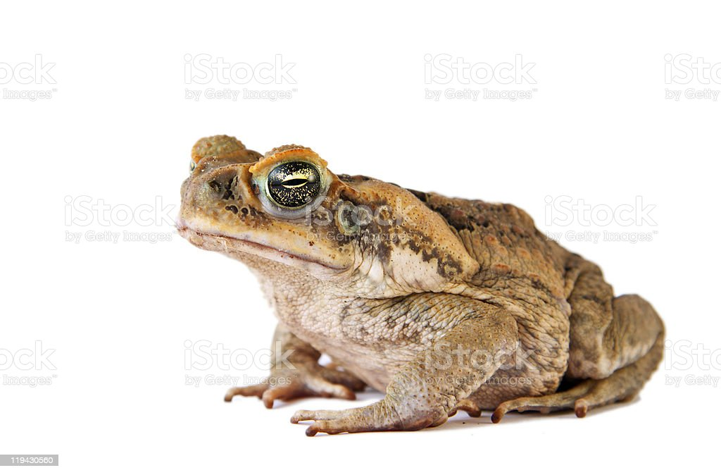 Cane toad (Bufo marinus) closeup and isolated over white stock photo