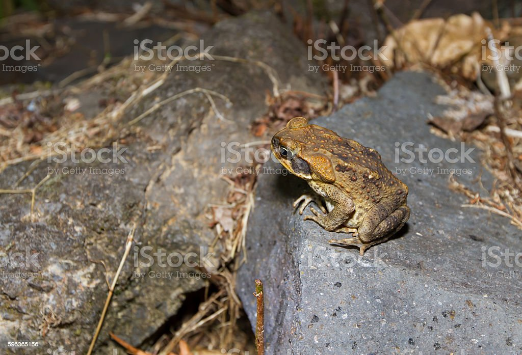 Cane Toad in Maui stock photo