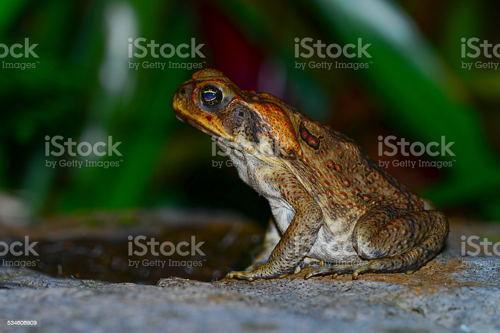 Cane toad on a rock stock photo