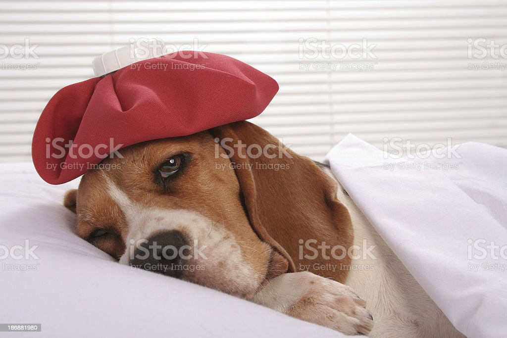 Canine Patient in Hospital Room stock photo