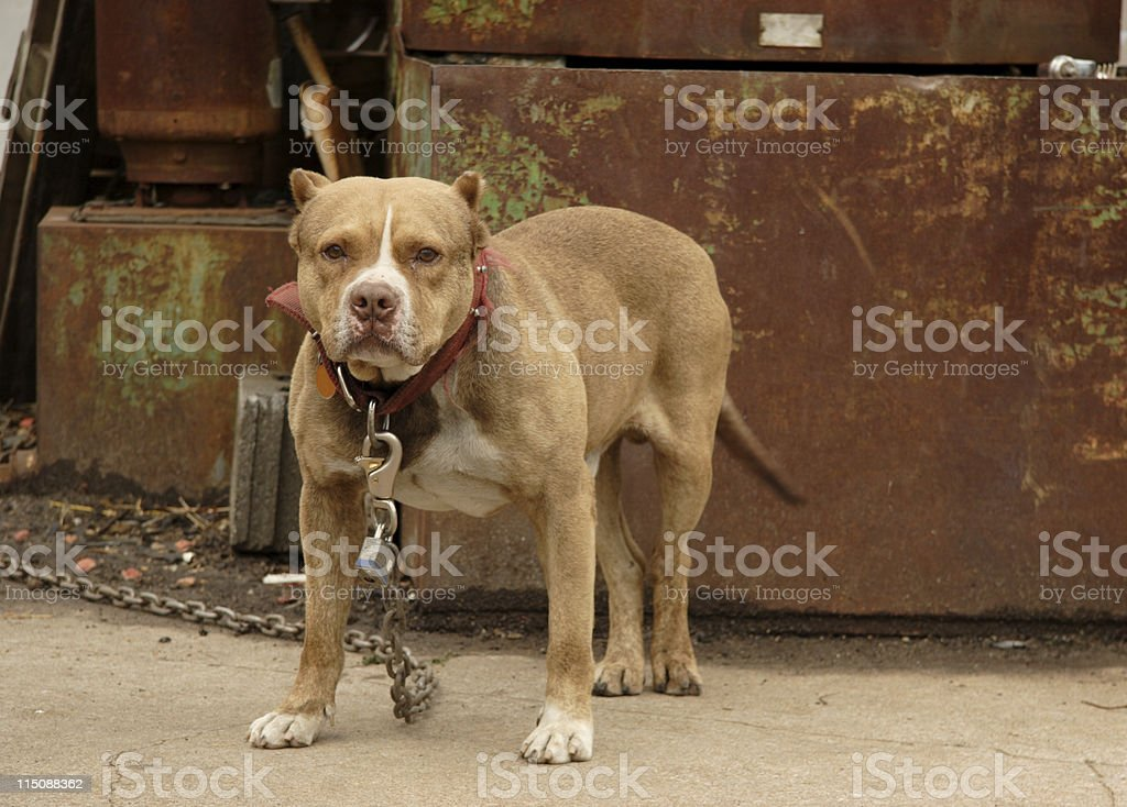 canine scenes - junkyard dog stock photo