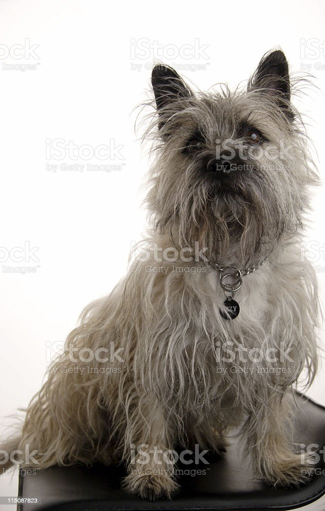canine scenes - terrier on white royalty-free stock photo