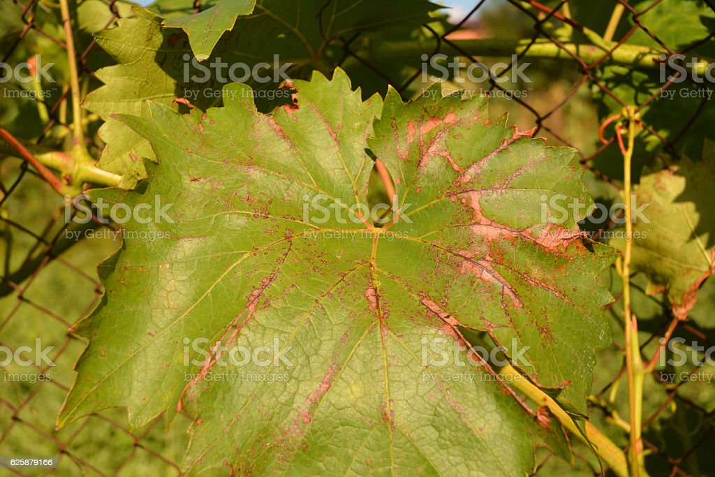 Canker and anthracnose, grape canker (Eutypa lata and Phomopsis viticola) stock photo