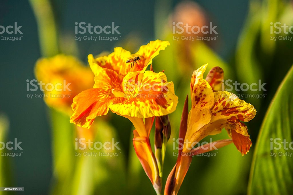 Canna Flower With Bee stock photo