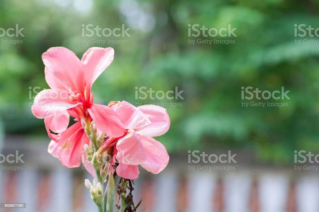 Canna flowers on a background blur stock photo