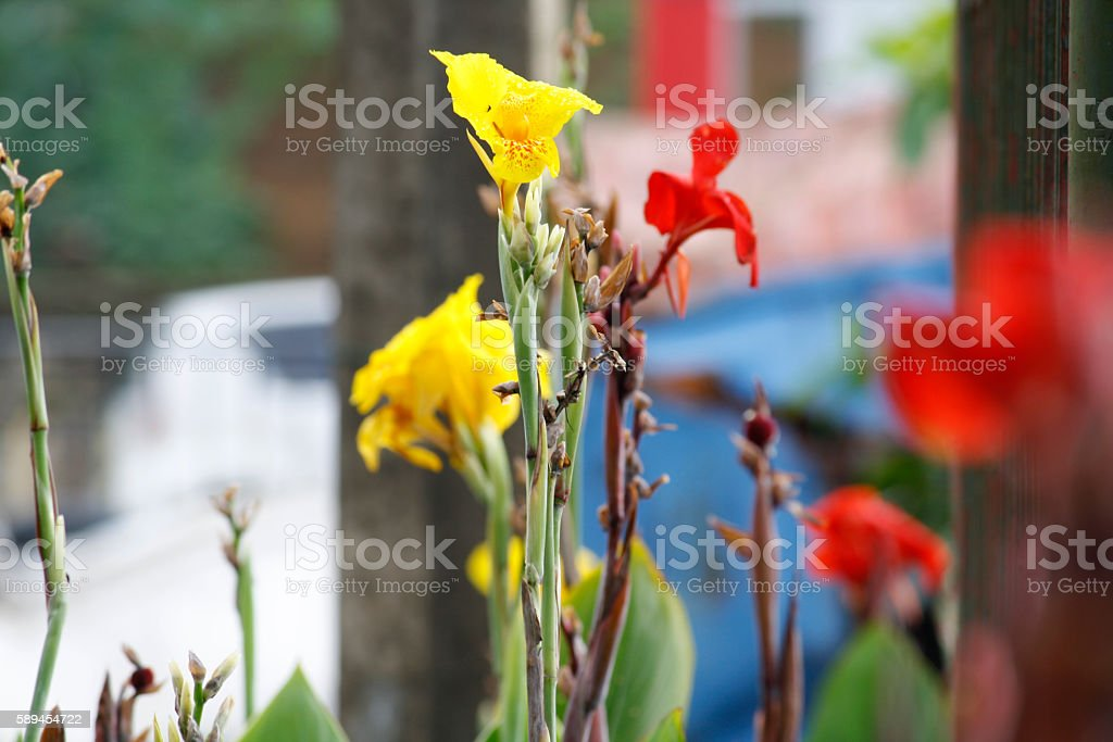 Canna flowers stock photo