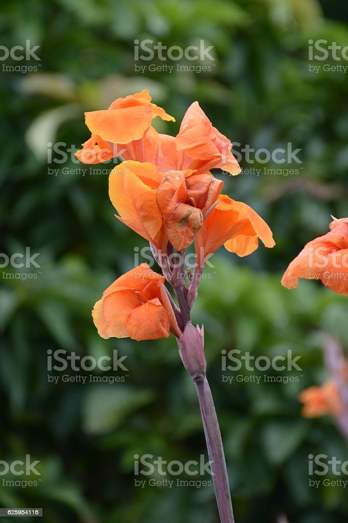 Canna indica flower stock photo
