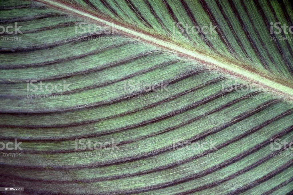 Canna Leaf - Organic Background royalty-free stock photo