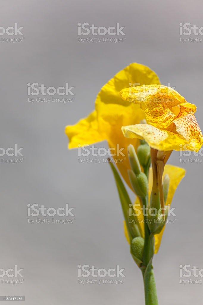 Canna lilly stock photo