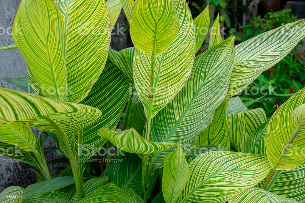 Canna lily leaves stock photo