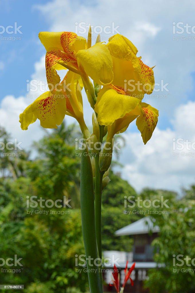 canna lily stock photo