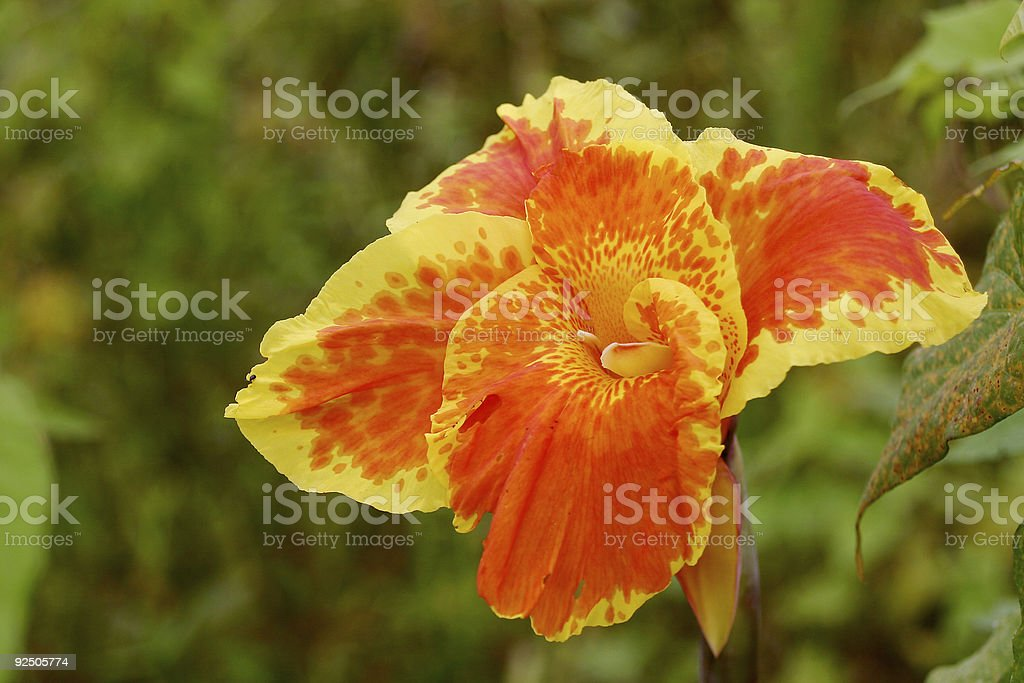 Canna Lily royalty-free stock photo