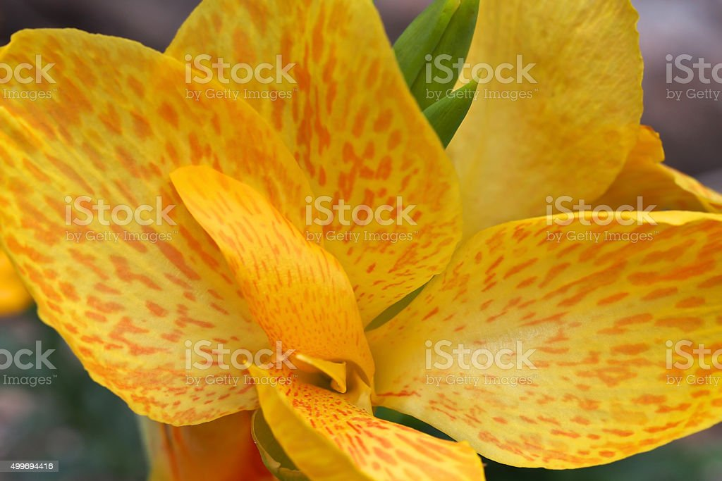 Canna Lily Yellow stock photo
