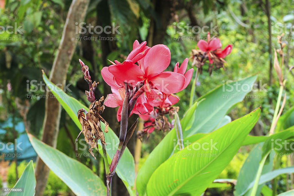 Canna Spp. and Hybrid Flowers. stock photo