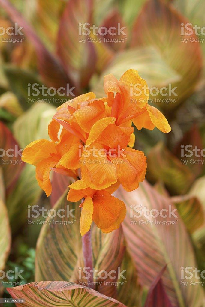Canna Tropicana stock photo