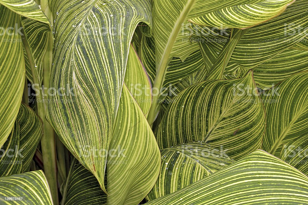 Canna Tropicanna Lily Leaves stock photo