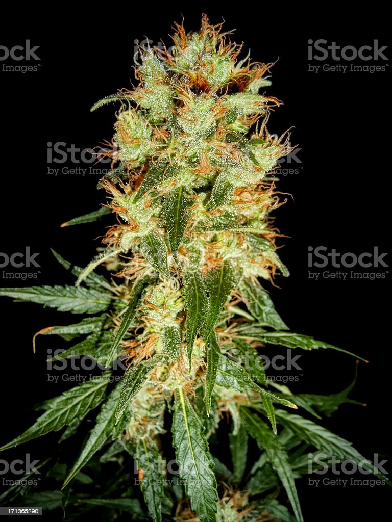 Cannabis Bud - Haze & Skunk royalty-free stock photo